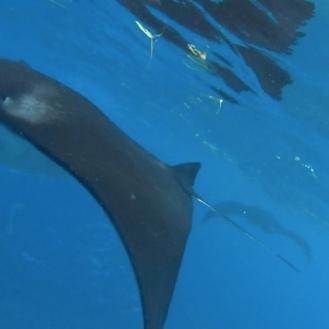 Snorkeling bersama ikan Manta