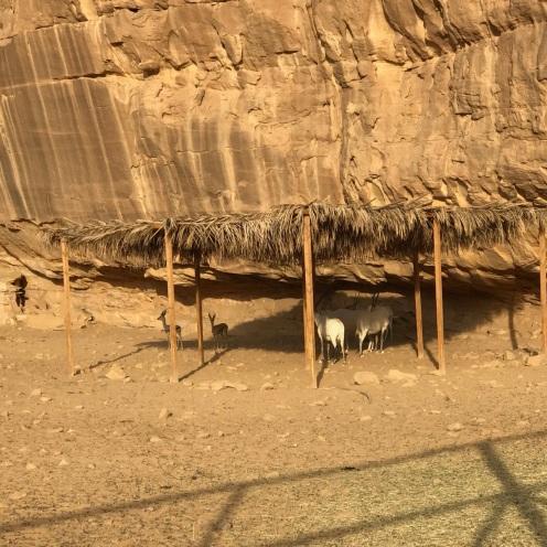 Zoo di Al Ula