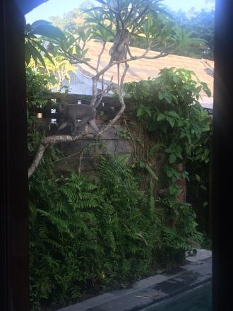 Monyet-monyet di sekitar villa. Ramai hanya di pagi hari. Sepertinya ingin membangunkan manusia yang suka bangun siang :D