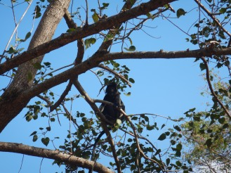 Black monkeys that roam freeling at National Park